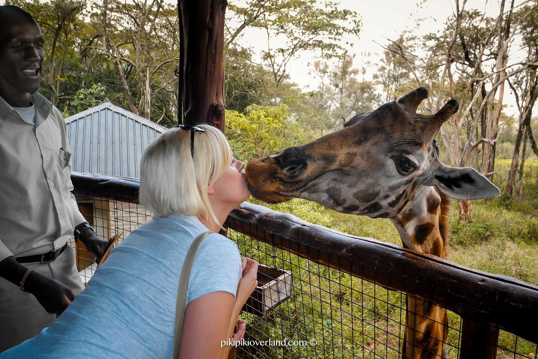 Kiss a giraffe in Kenya